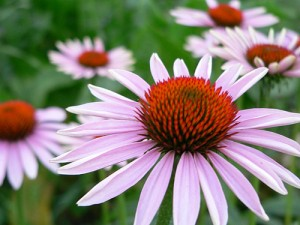 apts nevada: cone flower